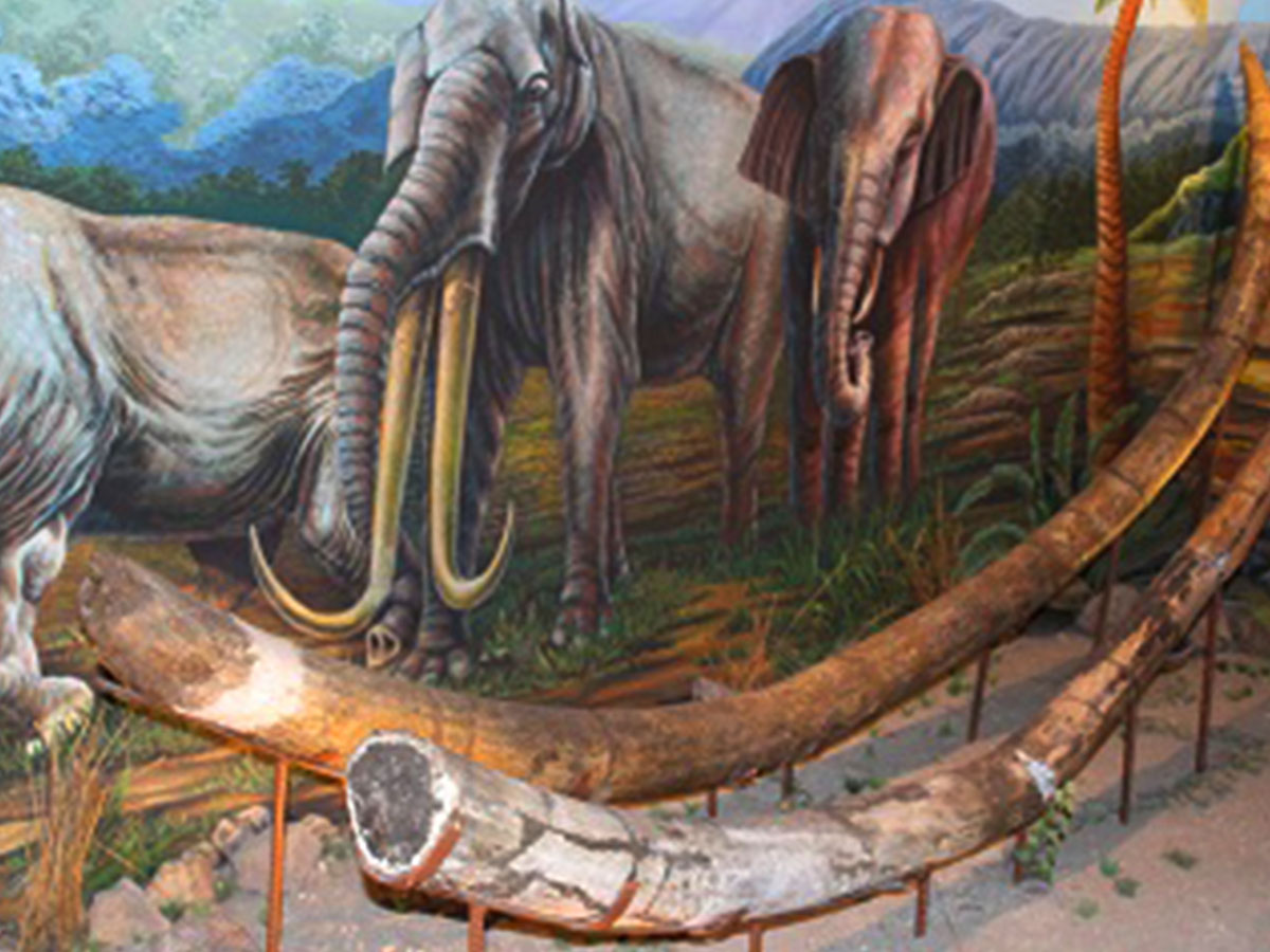 gading gajah purbakala di museum sangiran