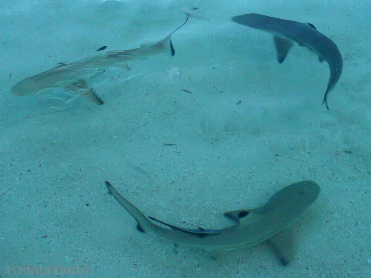 Baby Shark di Pulau Tinabo Takabonerate