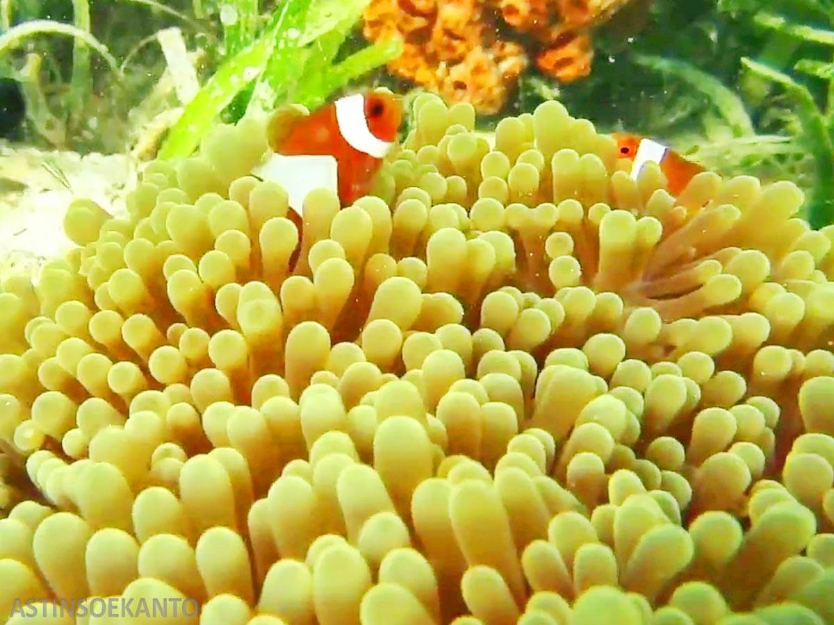 Nemo di Takabonerate