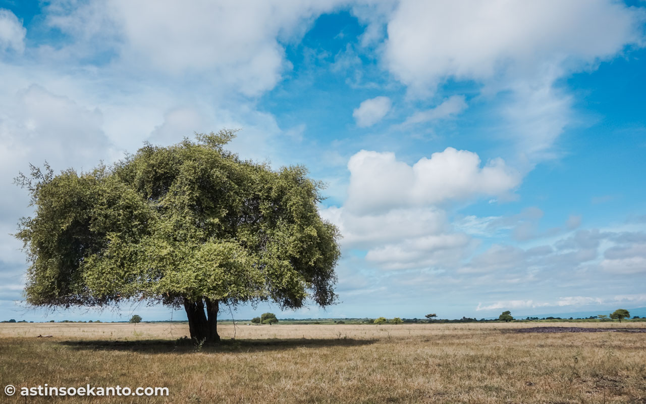 Pohon Ziziphus Mauritiana atau lebih dikenal dengan pohon Raisa, pohon heits di Baluran