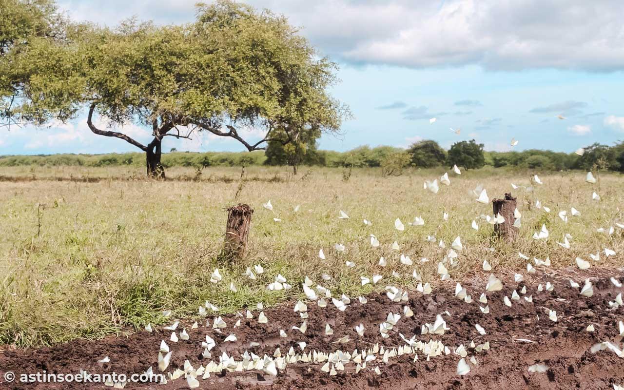 Kupu-kupu beterbangan di savana Bekol Baluran