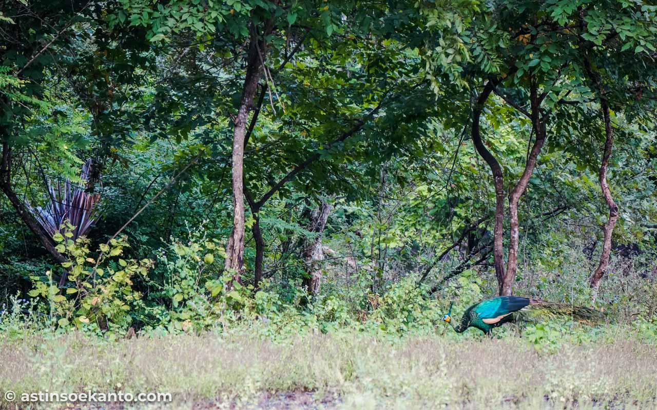 Merak yang berkeliaran di Taman Nasional Baluran